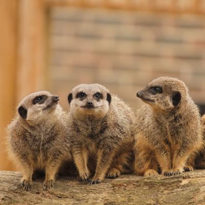 Meerkats at BCA Zoo